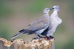 Amor de la paloma Fotos de archivo