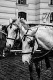 Amor de los caballos Foto de archivo libre de regalías