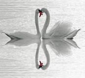 Amor de los cisnes imagen de archivo libre de regalías