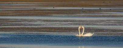 Amor de los cisnes mudos en el lago Fotos de archivo libres de regalías