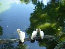 Amor de los pájaros en el lago fotografía de archivo