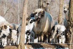 Amor de um cordeiro e de sua mãe imagens de stock