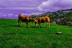 Amor de vacas fotos de archivo