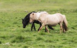 Amor del caballo, blanco y negro Imagen de archivo