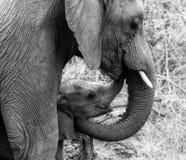 Amor del elefante imagen de archivo libre de regalías