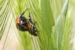 Amor del escarabajo Imágenes de archivo libres de regalías