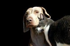Amor del gato y del perro Foto de archivo libre de regalías