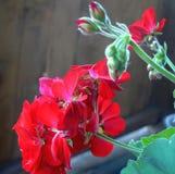 Amor del geranio Foto de archivo libre de regalías