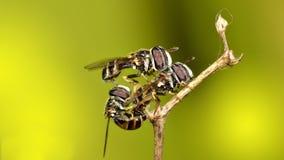 Amor del insecto Foto de archivo