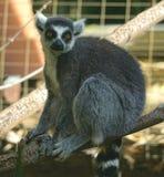 Amor del lémur Foto de archivo