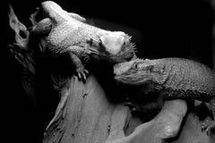 Amor del lagarto Imagen de archivo