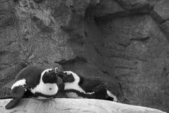 Amor del pingüino Imagen de archivo libre de regalías