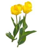 Amor del tulipán Fotos de archivo