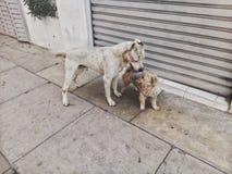 Amor do cão Foto de Stock Royalty Free