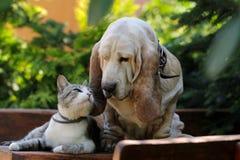 Amor do cão e do gatinho de cão do Basset Fotos de Stock