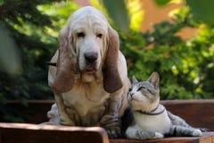 Amor do cão e gato do cão de Basset Fotografia de Stock