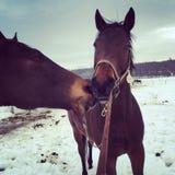 Amor do cavalo de baía Fotografia de Stock