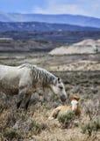 Amor do cavalo selvagem de bacia de lavagem da areia Imagem de Stock