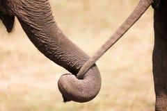 Amor do elefante Foto de Stock
