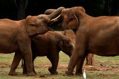 Amor do elefante foto de stock royalty free