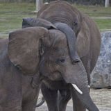Amor do elefante Foto de Stock Royalty Free