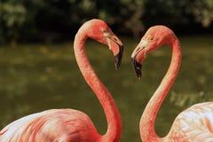 Amor do flamingo Imagem de Stock