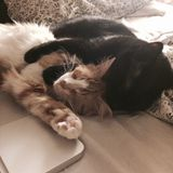 Amor do gato Fotos de Stock Royalty Free