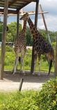 Amor do girafa fotografia de stock royalty free