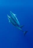 Amor do golfinho fotos de stock royalty free