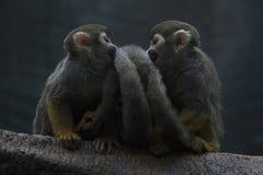 Amor do macaco imagem de stock royalty free