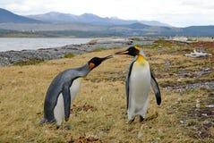 Amor do pinguim Imagem de Stock Royalty Free
