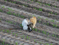 Amor dos gatos Foto de Stock