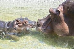 Amor en una familia de hipopótamos Fotografía de archivo