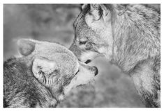 Amor entre lobos Foto de Stock Royalty Free