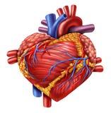 Amor humano do coração Fotos de Stock Royalty Free