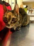 Amor pasado del día del gatito del gato Imagen de archivo