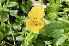 Amor perfeito amarelo cercado pelas folhas verdes imagens de stock