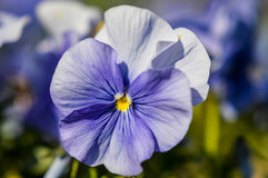 Amor perfeito azul macio Imagem de Stock