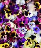 Amor perfeito da flor Fotografia de Stock Royalty Free
