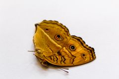Amor perfeito do pavão da borboleta bonito imagem de stock