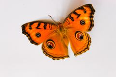 Amor perfeito do pavão da borboleta bonito imagens de stock