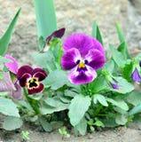 Amor perfeito tricolor da viola Fotografia de Stock