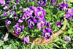 Amor perfeito violeta Fotos de Stock