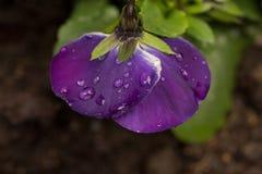 Amor perfeito violeta coberto em gotas da chuva Fotos de Stock Royalty Free
