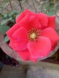 Amor Rosa Imagem de Stock