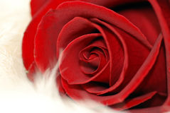 Amor Rose Fotografía de archivo libre de regalías