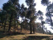 Amor verde dos pinhos altos liso Imagem de Stock Royalty Free