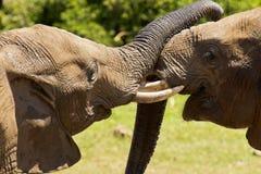 Amor y afecto del elefante Fotos de archivo