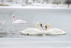Amor y fidelidad de los cisnes Fotografía de archivo