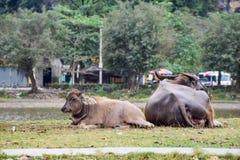 Amor y vinculación de la madre y del niño, el amor más grande, cierre para arriba de lindo Búfalo del bebé, el búfalo de la madre foto de archivo libre de regalías